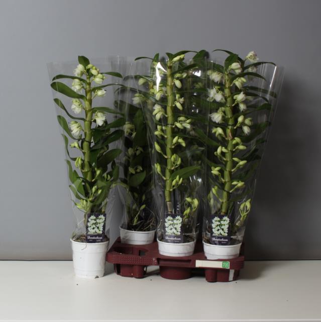 <h4>Dendrobium Nobile Apollon 12Ø 65cm 1stem 12Flow</h4>
