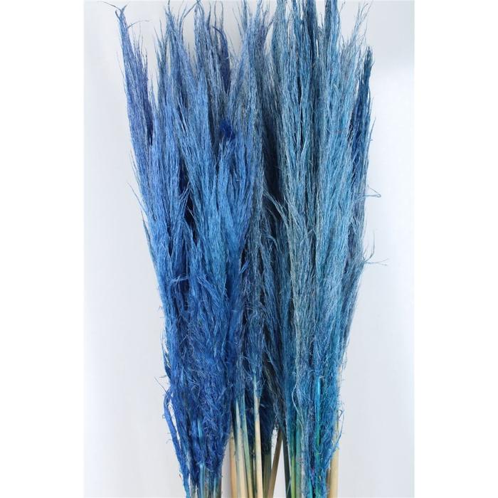 <h4>Cortaderia Pastel Blue</h4>