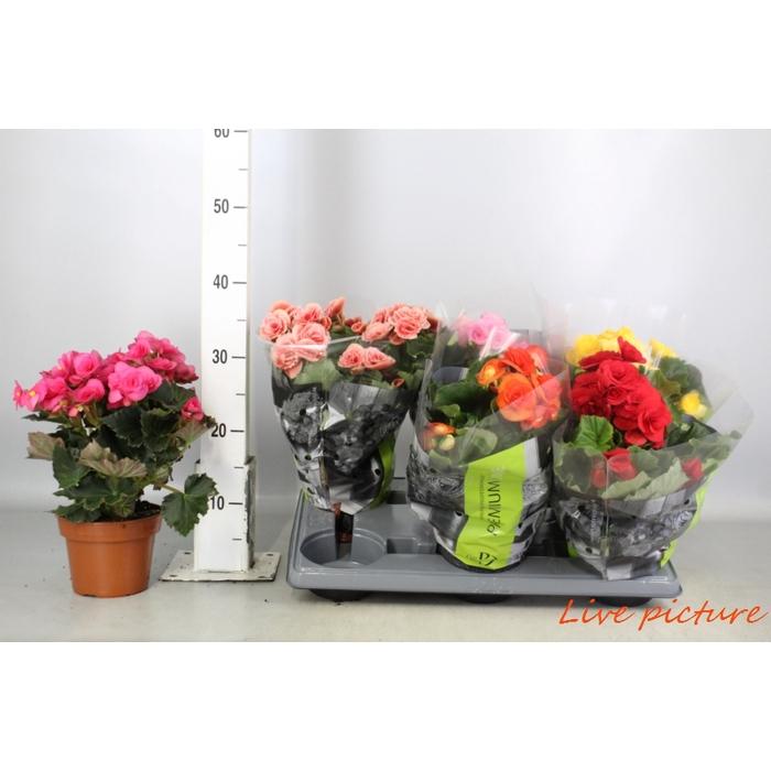 <h4>Begonia Premium Quattro Mix P14</h4>