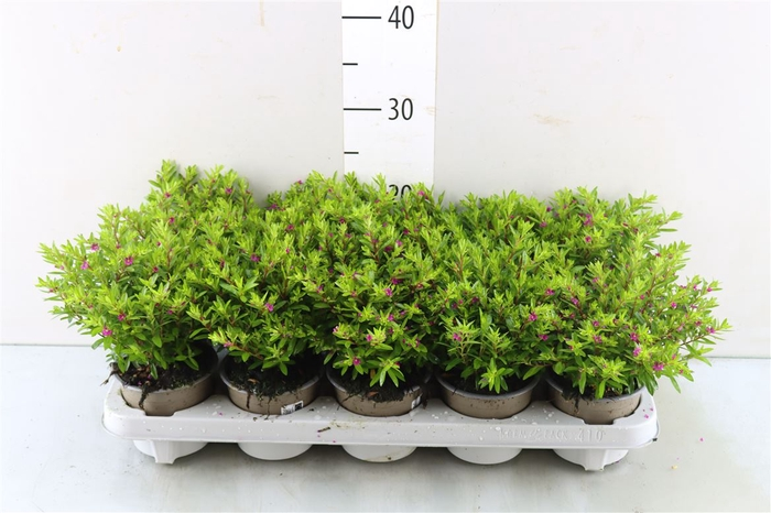<h4>Cuphea hyssopifolia   rood</h4>