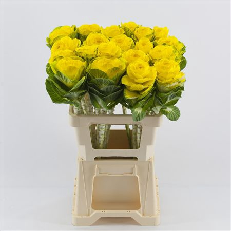 <h4>Brassica Yellow</h4>