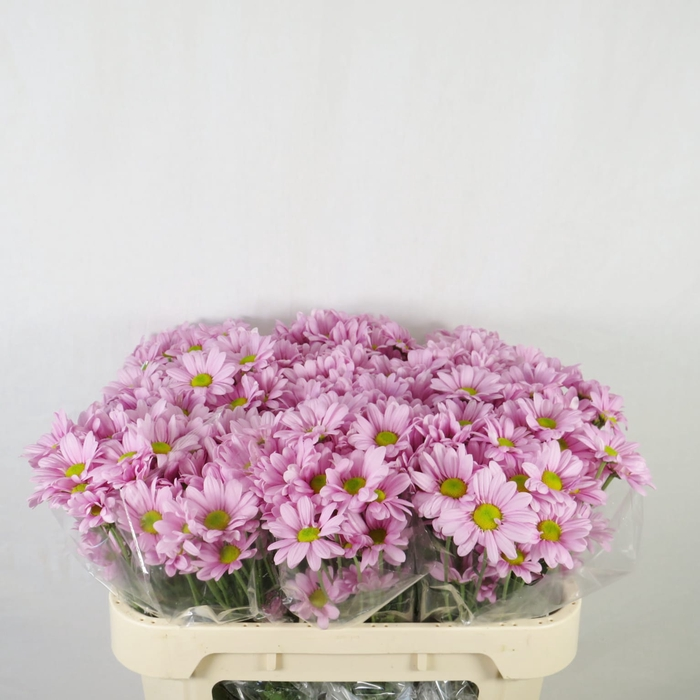 Chrysanthemum spray bacardi rosa