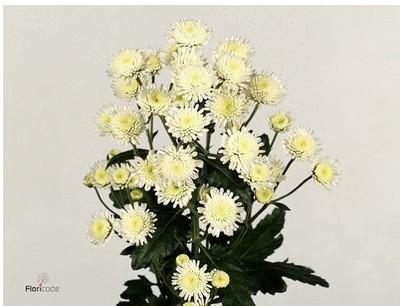 <h4>Chrysanthemum spray Stallion (Holanda)</h4>