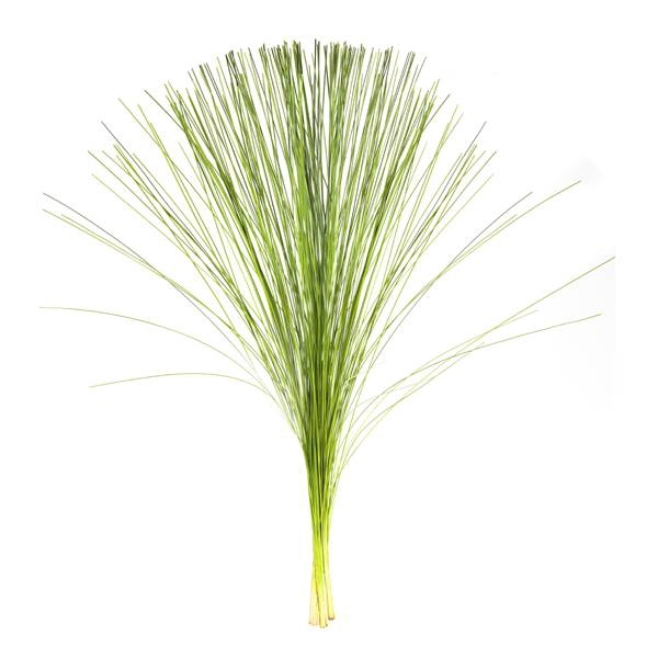 <h4>LILY GRASS</h4>