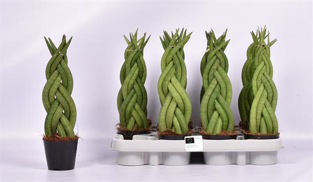 <h4>Sansevieria cylindrica overig</h4>