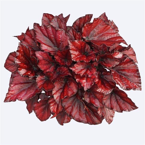 <h4>Begonia Magic Colours Red Bull</h4>