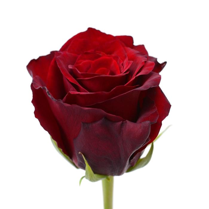 <h4>Rose Explorer</h4>