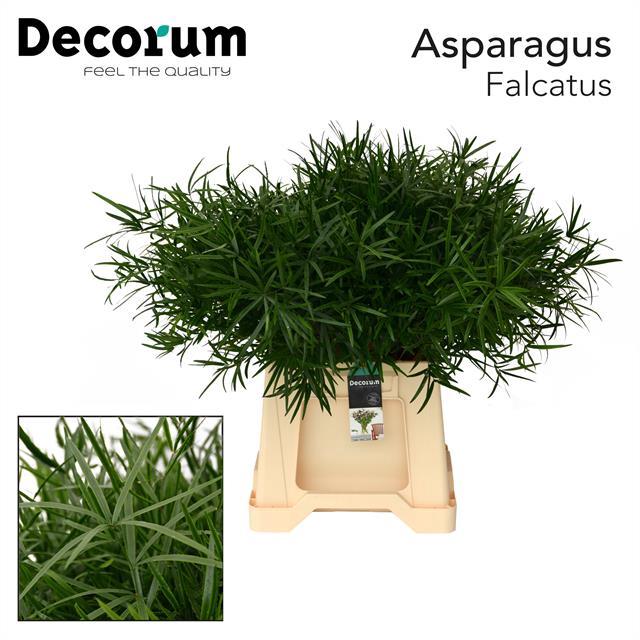 <h4>ASPARAGUS falcatus 45cm dc</h4>