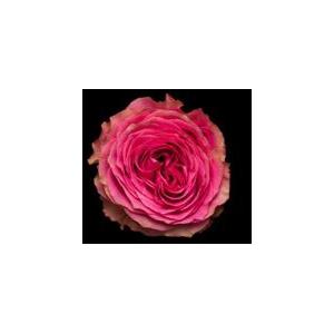 Rosa Gr. DFR108