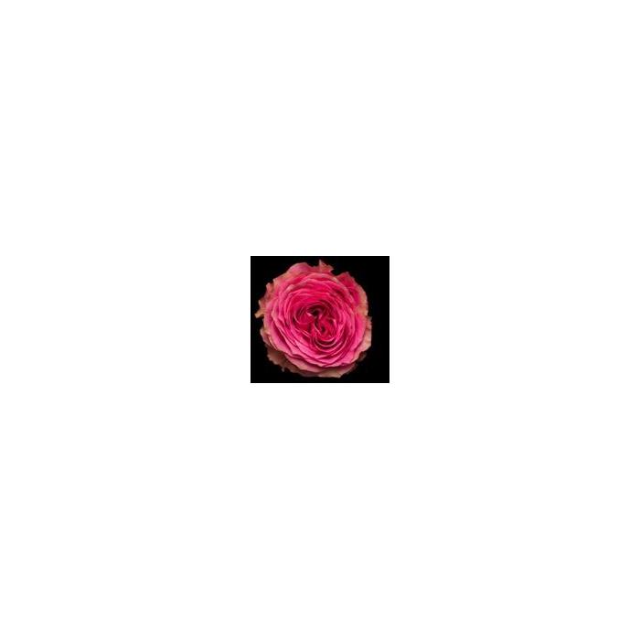 <h4>Rosa Gr. DFR108</h4>