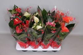 <h4>Anthurium surtido 4colores</h4>