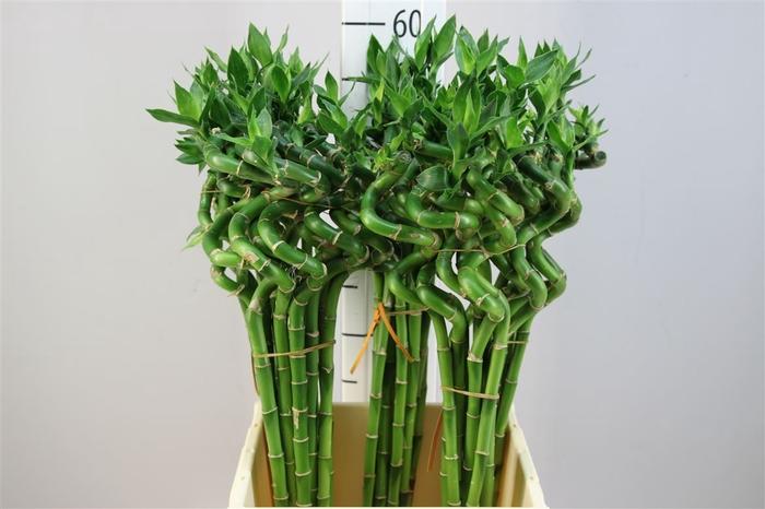 <h4>Lucky Bamboo Spiraal 50</h4>