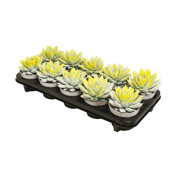 <h4>Echeveria bicoloured white/yelow</h4>
