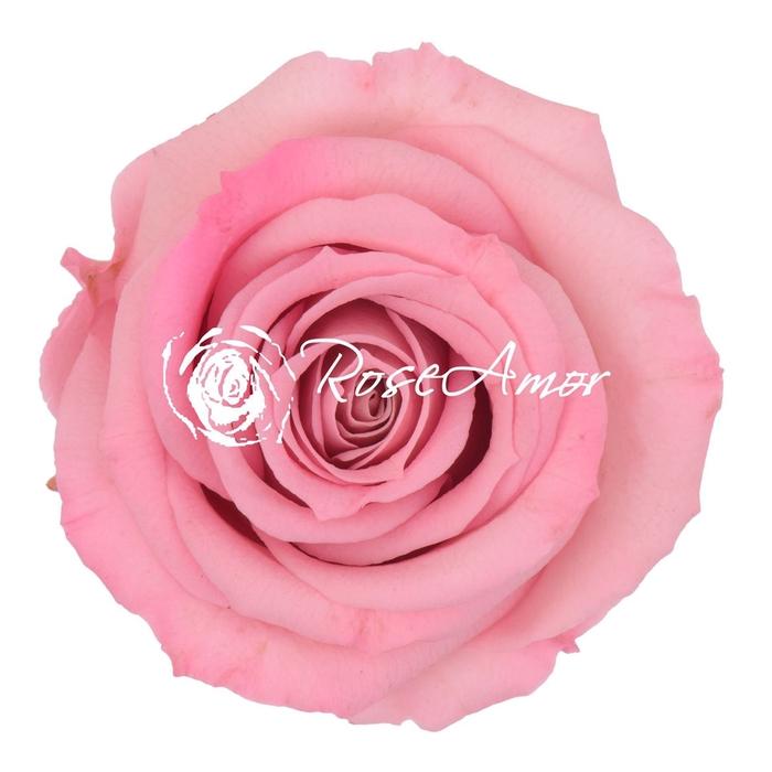 <h4>PRESERVED ROSA MINI WARMI BIC 08</h4>