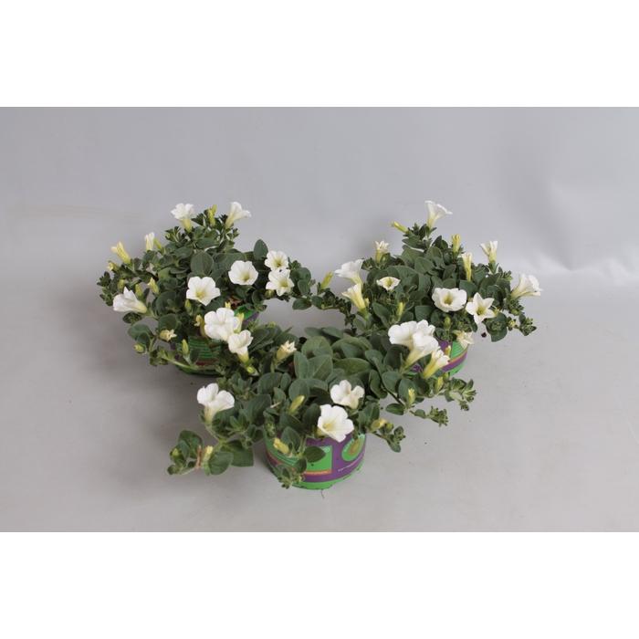 <h4>Petunia Dekko White</h4>