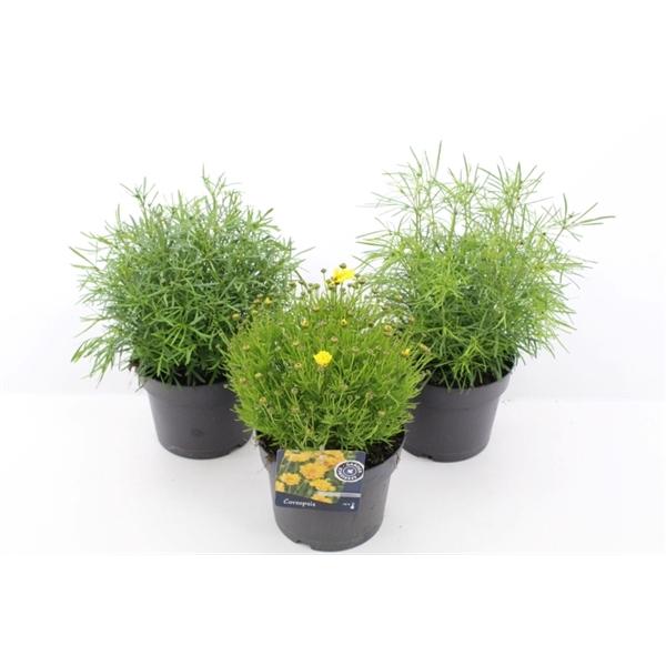 <h4>Coreopsis Verticillata Mixtray</h4>