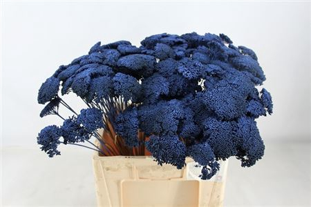 <h4>Achillea Blauw</h4>