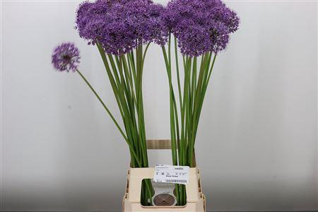 <h4>Allium Statos</h4>