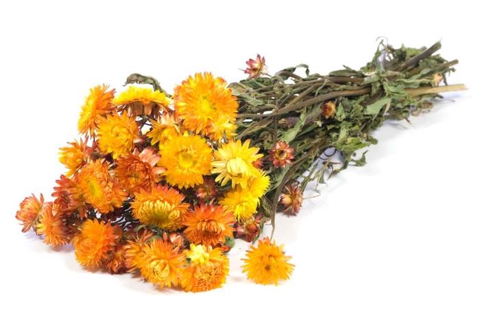 Helichrysum orange nat. Craft