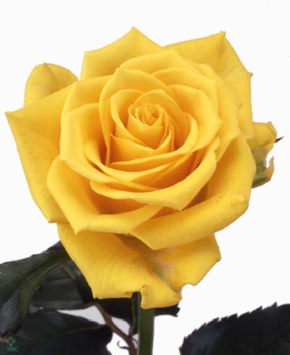 Rosa Gr. Sonrisa