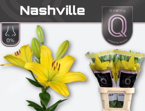 <h4>Lilium (LA-hybrids Grp) 'Nashville'</h4>