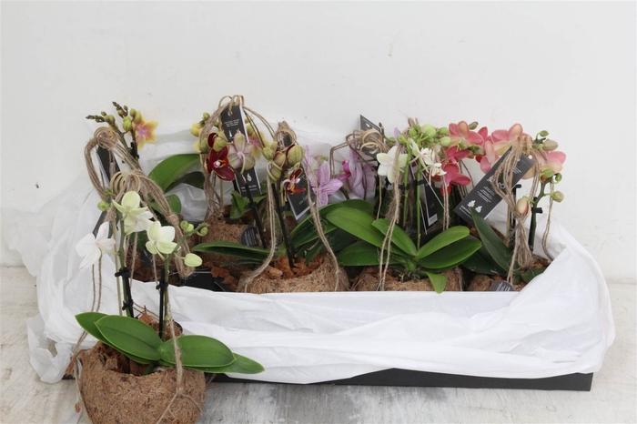 <h4>Koko Phalaenopsis Mini 2 Tak #</h4>