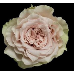 Rosa Gr. DFR46