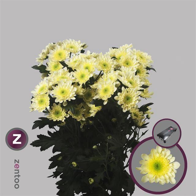 <h4>Chrysanthemum TR 'Radost Cream'</h4>
