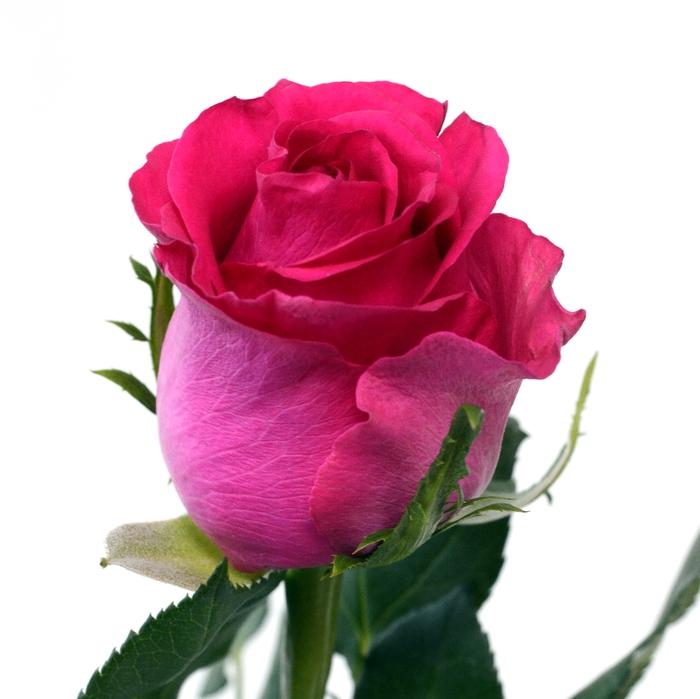 <h4>Rose Memory</h4>