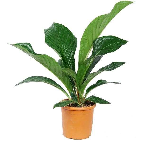 <h4>Anthurium Green Passion</h4>
