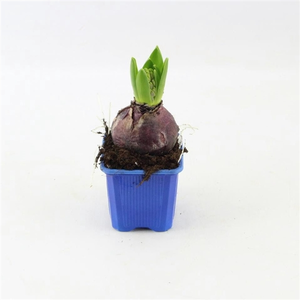 <h4>Hyacinthus Blue Pearl</h4>