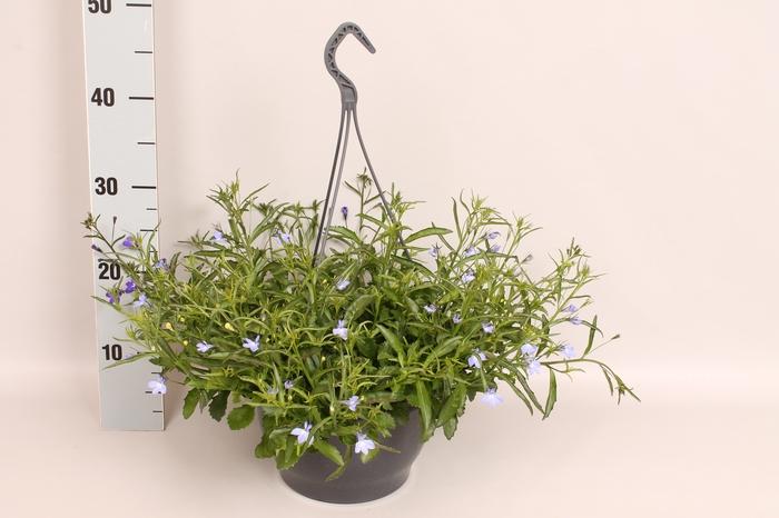 <h4>Hangpot 23 cm lobelia blaw/wit</h4>
