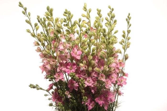 <h4>Delphinium ajacis pink dark</h4>