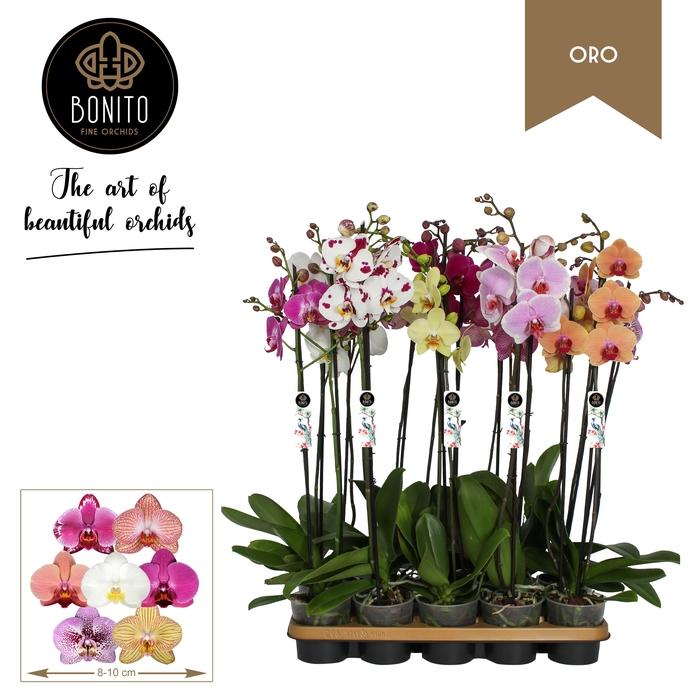 <h4>Phalaenopsis mix 12Ø 75cm 2 pędy 20+ kwiatów</h4>