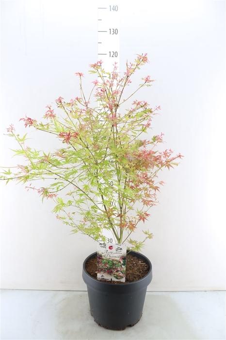 <h4>Acer Palmatum 'phoenix'</h4>