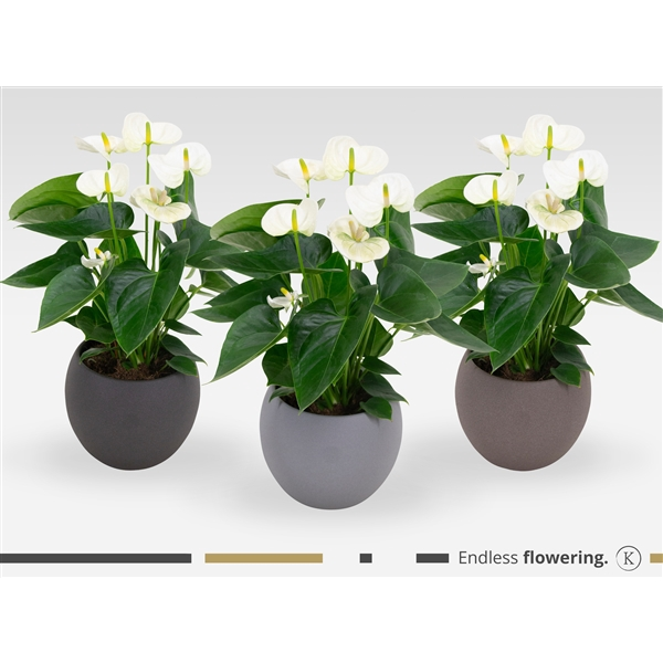 <h4>KARMA - White Anthurium | Ceramic 'Stone look' 18cm | art. LSS18MIX-WHI12</h4>