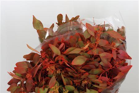 <h4>Dec Popules Bes Autumn</h4>