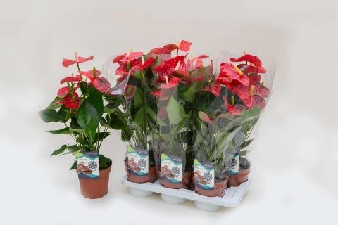 <h4>Anthurium (Andreanum Grp) Jambo Red</h4>