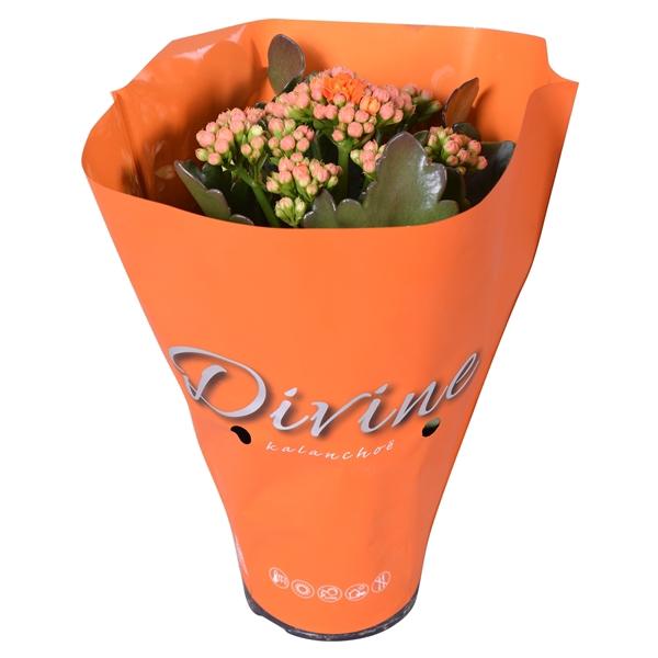 <h4>Kal. double Perfecta orange</h4>