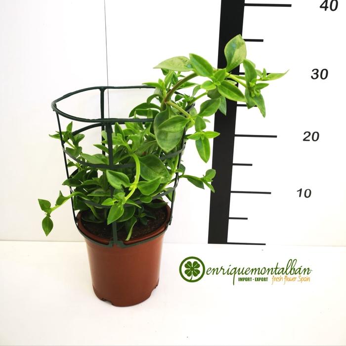 <h4>Aptenia cordifolia, Rocio M-13</h4>