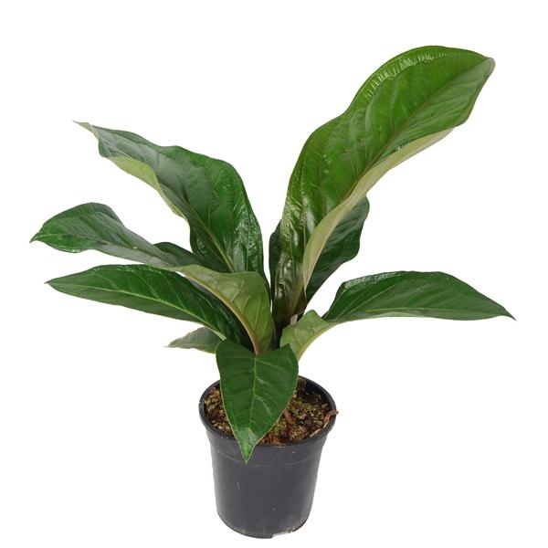 <h4>Anthurium Botanical King 'Green Star'</h4>