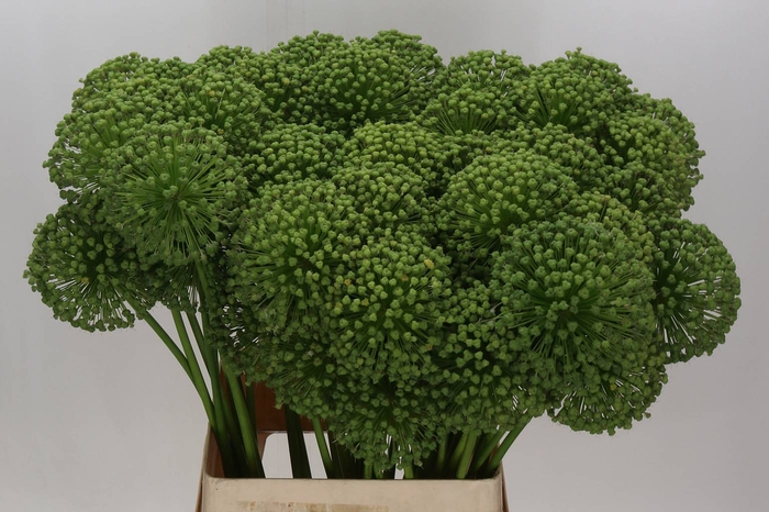 <h4>Allium Zaaddoos Groen Extra</h4>