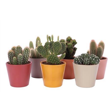 <h4>Cactus Tendance 12 Cm</h4>