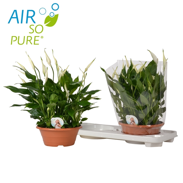 <h4>Spathiphyllum Bellini®' ASP</h4>