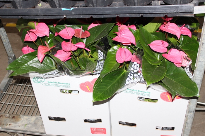 <h4>ANTHURIUM ALLURE P19</h4>