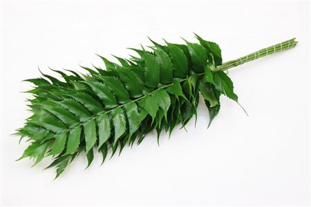 <h4>Holly Fern</h4>