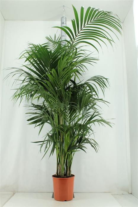 <h4>Howea Forsteriana H190cm</h4>