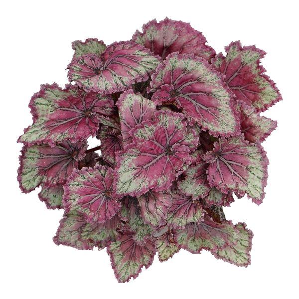 <h4>Begonia Magic Colours Pinkpop</h4>