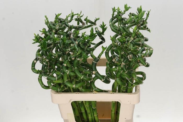 <h4>Dracaena S Lucky Bamboo</h4>
