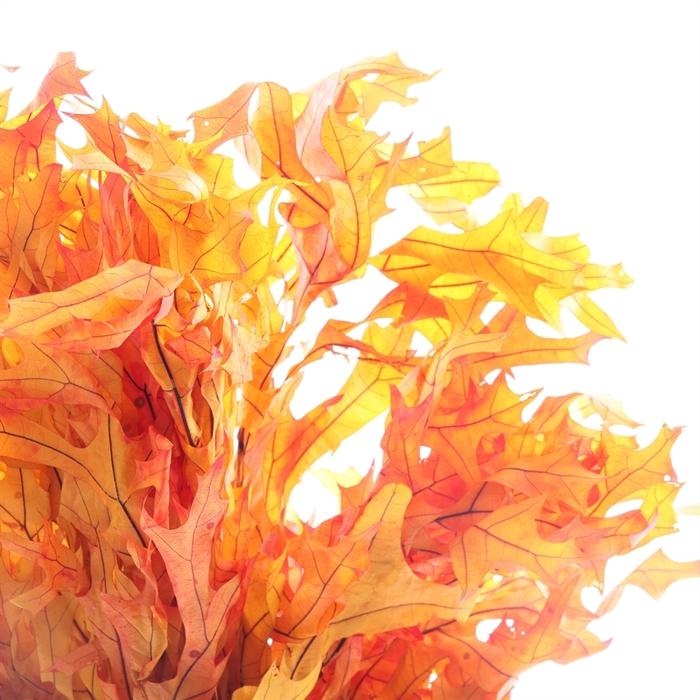 <h4>Dried Oak Autumn Preserved</h4>